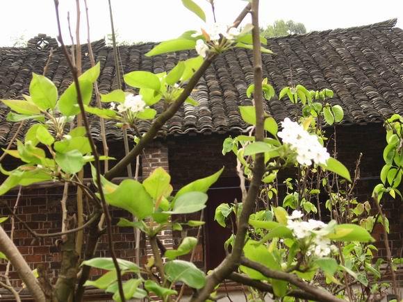 梨树开花仍满枝