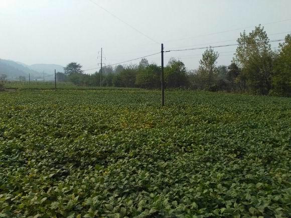 西洋江镇:4000亩烟田地里的致富豆丰收在望